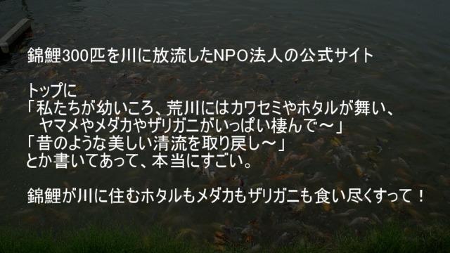 錦鯉300匹を川に放流したNPO法人